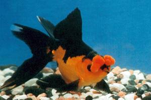 Les s lections pouss es du carassius for Poisson rouge japonais
