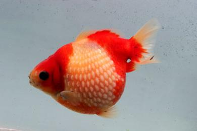 L 39 ovo de for Poisson rouge gros yeux