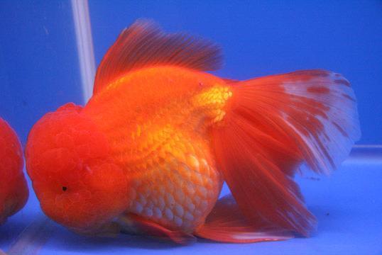 Le t te de lion for Prix poisson rouge tete de lion